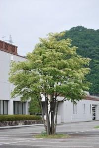歴史館駐車場のシナノキ